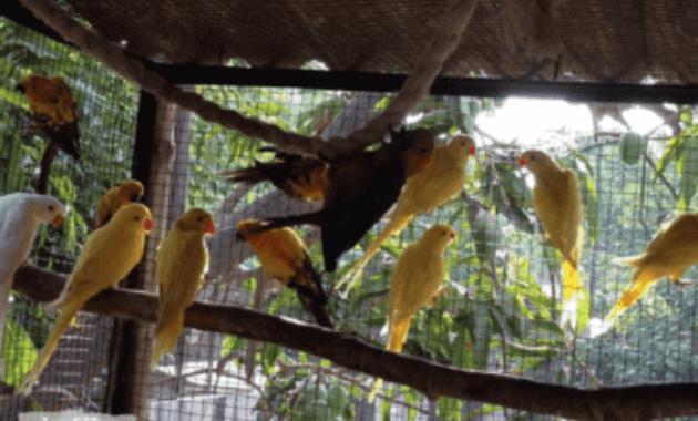Ternak Burung Kicau
