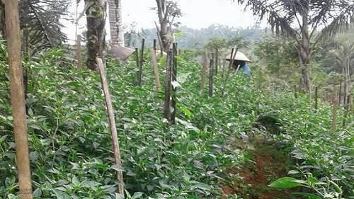 usaha pertanian cabe