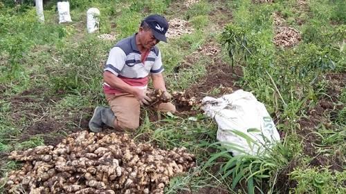 usaha pertanian rempah
