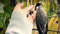 ciri burung kutilang yang bagus