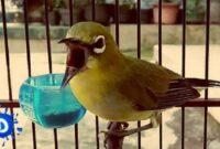 Burung Pleci Diare
