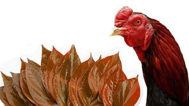 Manfaat Pemberian Daun Sirih Bagi Ayam
