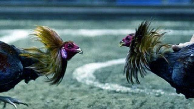 ayam belum berani bertarung