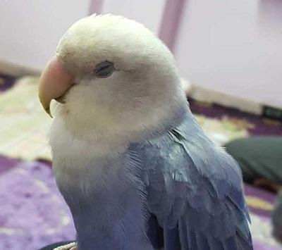 ciri burung lovebird diare