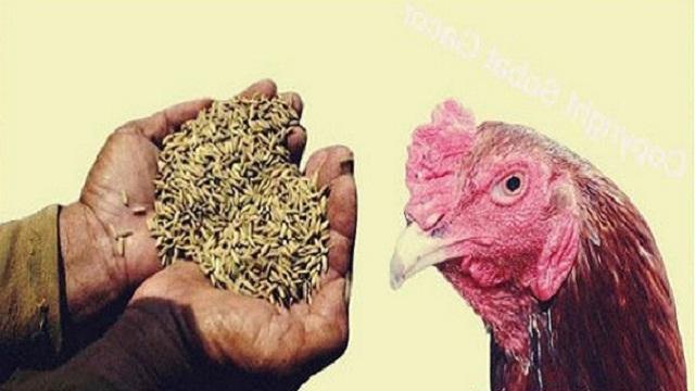 manfaat gabah bagi ayam