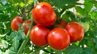 manfaat tomat untuk ayam bangkok