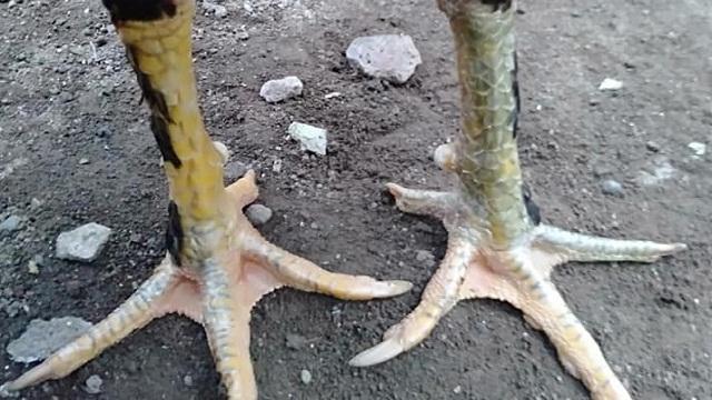 sisik kaki berbulu ayam