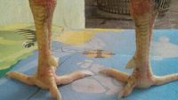 sisik kaki naga temurun ayam aduan