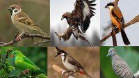 Burung yang Tidak Boleh Dekat Dengan Murai Batu