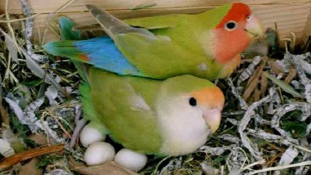 Telur Lovebird Tidak Menetas