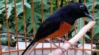 burung murai batu macet bunyi
