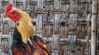 ciri ayam birma asli
