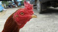 memperkuat leher ayam