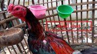 menjual ayam bangkok