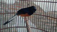 burung murai batu bahorok